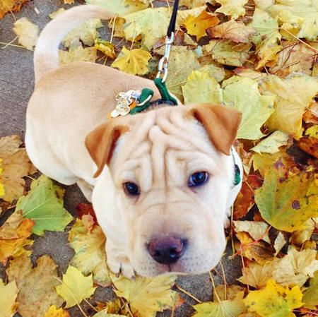 Osito the Shar Pei Mix. Tell me frankly if youd'd ever be able to resist this face....!