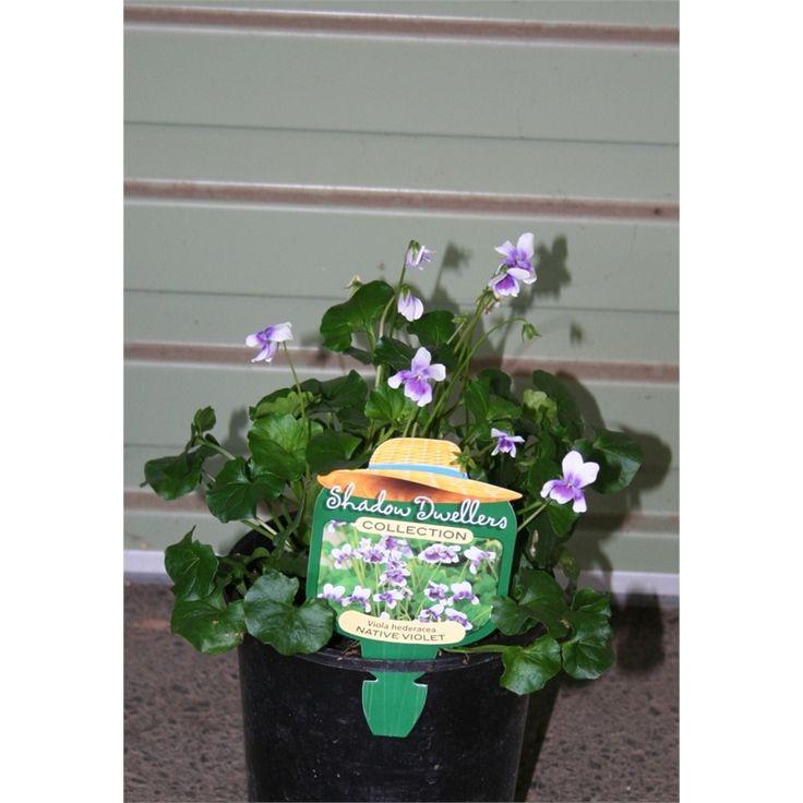 140mm Viola Headeracae Native Violet