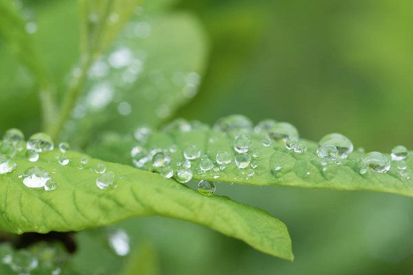 Art prints for sale... check out the perfect little spheres of water on these leaves after a rainfall.