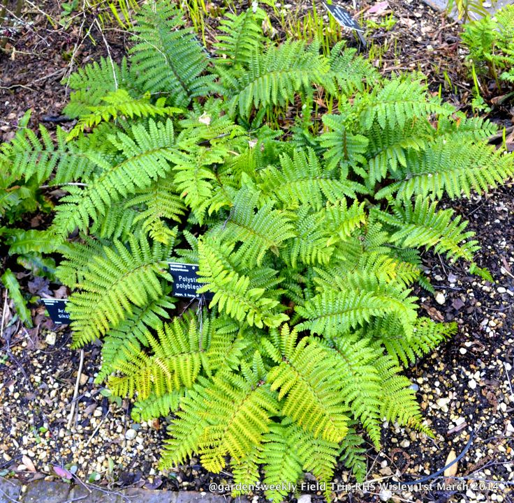 A corker of a fern...neat and compact