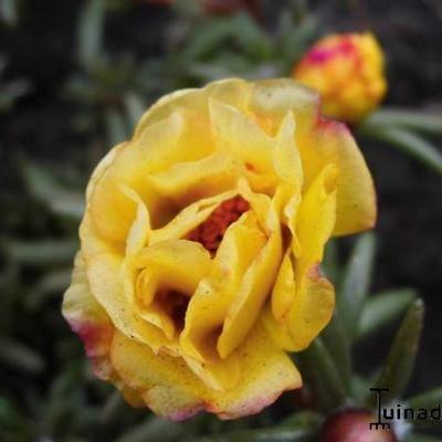 Portulak - Portulaca grandiflora