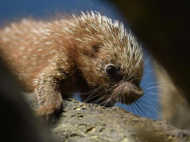 Greifstachler sind nachtaktive, mit Stachelschweinen und Meerschweinchen verwandte Nagetiere. Sie leben in den Regenwäldern des nördlichen und östlichen Südamerikas, sowie auf Trinidad.