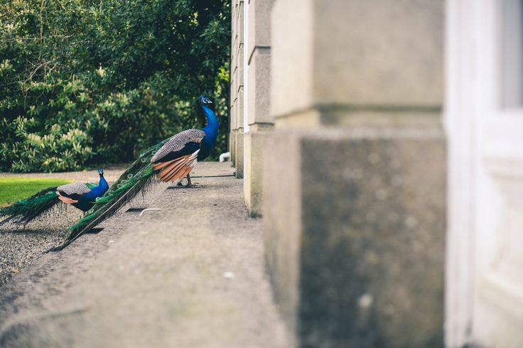 Peacocks at Marlfield House