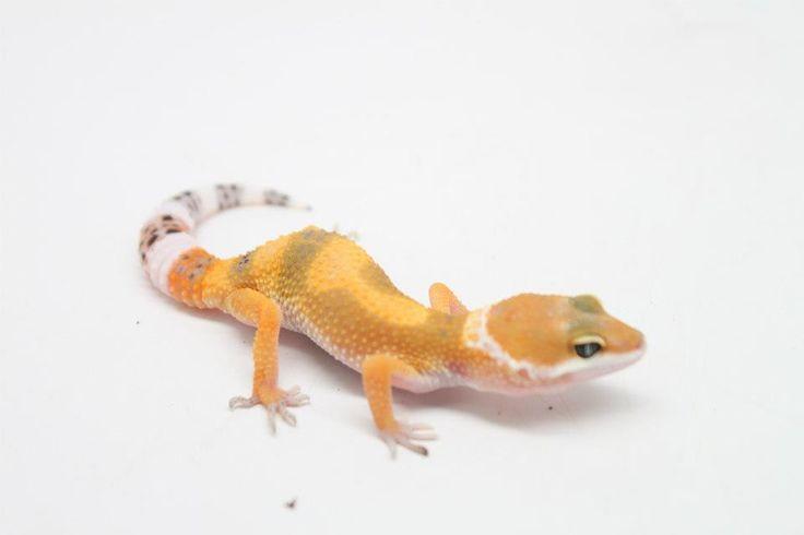 Geckos leopardo shct