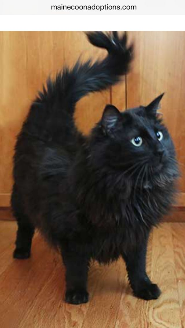 Update: Simone has been ADOPTED!! One-year-old Maine Coon ...