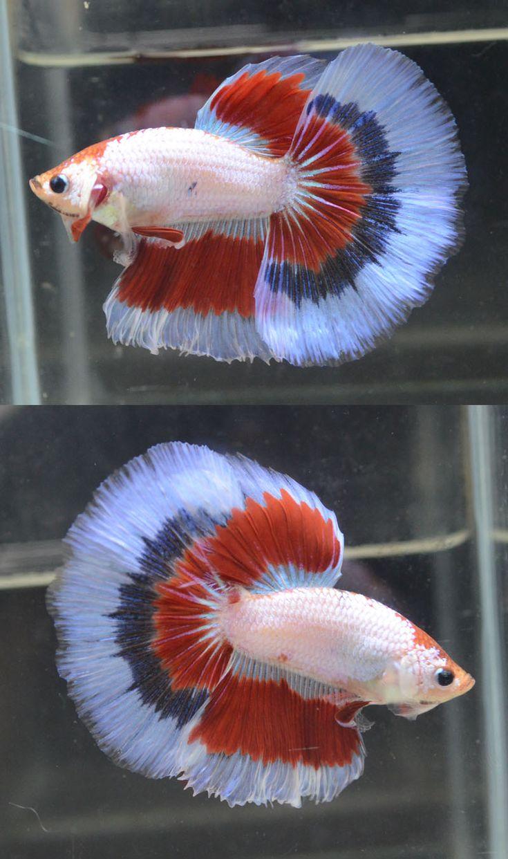 The 792 best Bettas images on Pinterest | Fish aquariums, Fish tanks ...