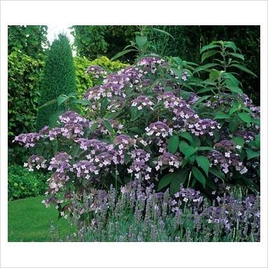 Hydrangea aspera Villosa Group - one of my favourite Hydrangeas.