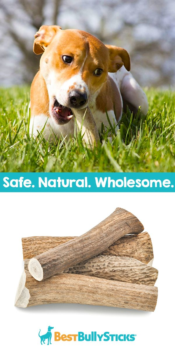 You'll feel good knowing that Best Bully Sticks are high in protein and 100% digestible. They're also 100% natural, unlike chemically-treated rawhides that can take ages to digest, invite bacteria growth, and even be a choking hazard for your pup! Check out BestBullySticks.com today and make your dog's day!