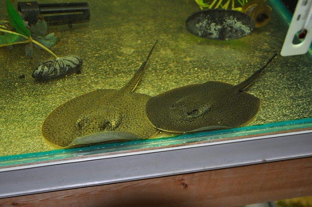 29 best images about axolotls bichirs and others on for Stingray fish tank