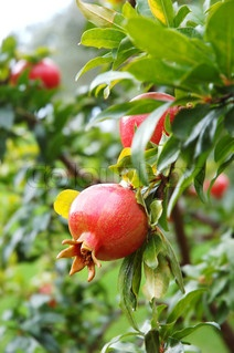 Russian Red pomegranate