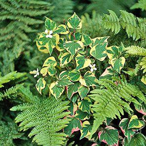 Chameleon plant for damp spaces