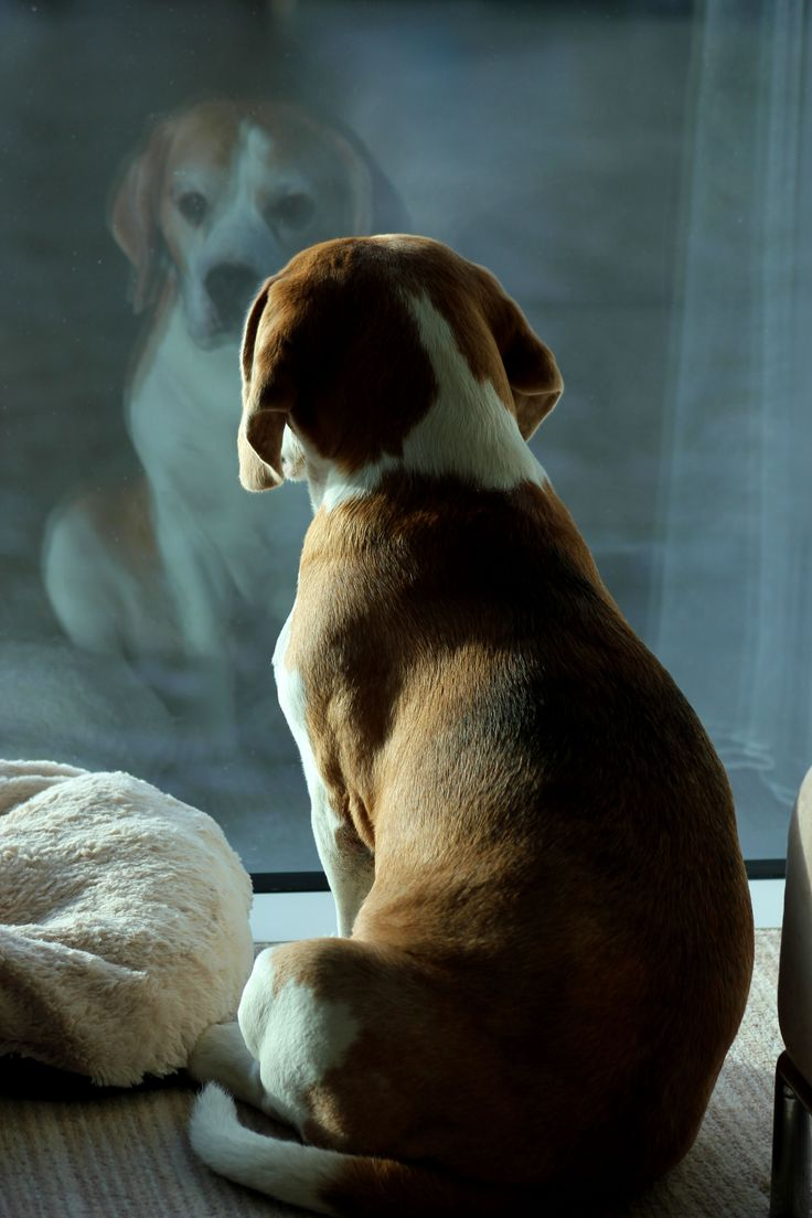 Watching the World go by. Photo by Pat Downing #Beagle