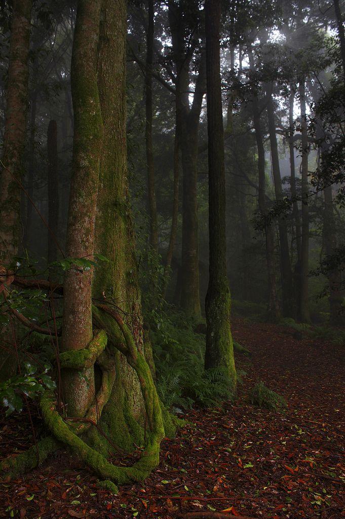 Forest Walk, Mount Wilson, Blue Mountains, Australia
