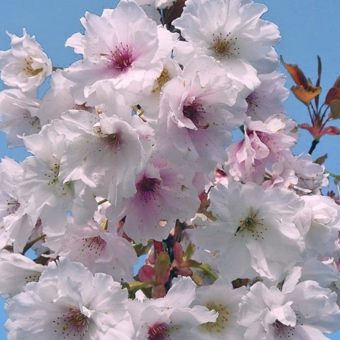 10 Types Of Ornamental Cherry Trees Hgtv Bring On The Cherry Blossoms Find The Perfect Orname Ornamental Cherry Flowering Cherry Tree Cherry Tree Varieties