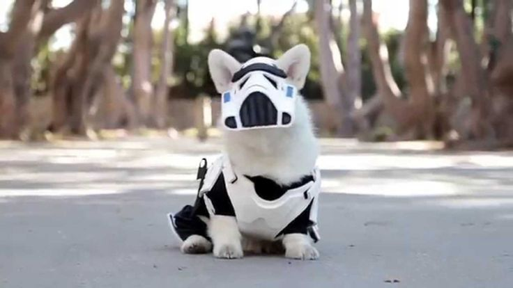 Little White Corgi Proudly Prances Around in His Custom Made Star Wars Stormtrooper Costume