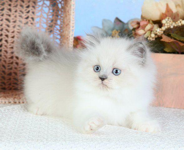 Teacup Himalayan Kittens   Himalayan Kittens   Himalayan ColorsSuperior Quality Teacup Persian ...