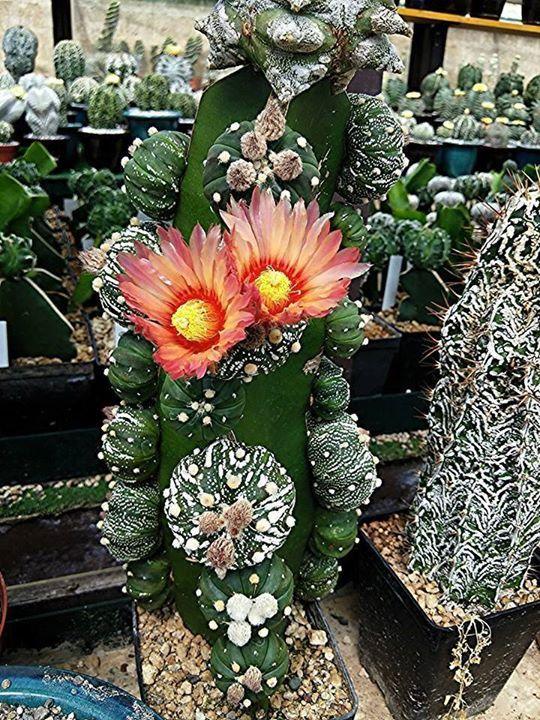 grafted cactus in bloom