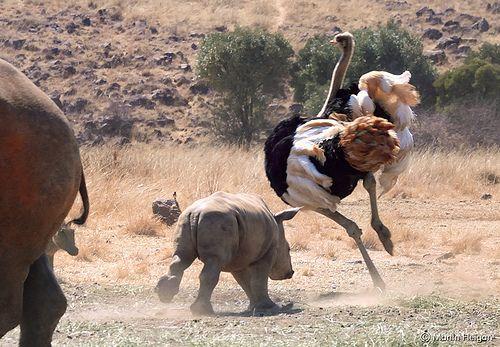 Playful baby Rhino