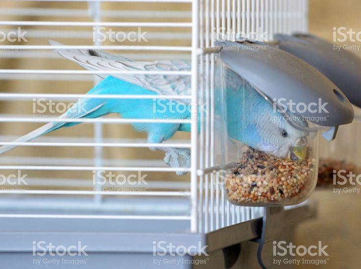 Budgie Bird Feeding royalty-free stock photo