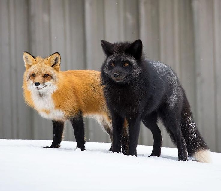 Red Fox and Silver Fox by Brittany Crossman