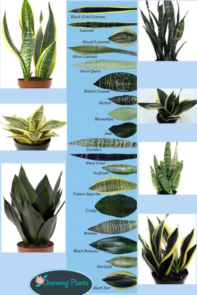 Sansevieria Types By Leaf Plants Sansevieria Plant Snake Plant Care