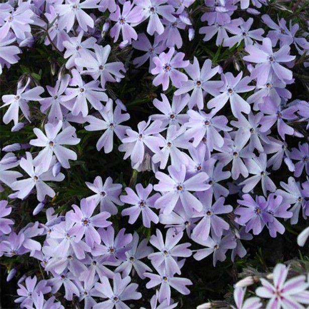 Les 25 meilleures id es de la cat gorie plante tapissante - Phlox vivace couvre sol ...