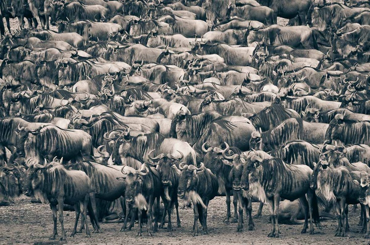 Not really inspiration but reminds me of great times in South Africa! And love their group-name! An Implausibility of Wildebeest - Migration at the Mara River by David Lloyd: Nature's Majesty, The Great Migration  #Wildebeest #David_Lloyd #Africa #Great_Migration