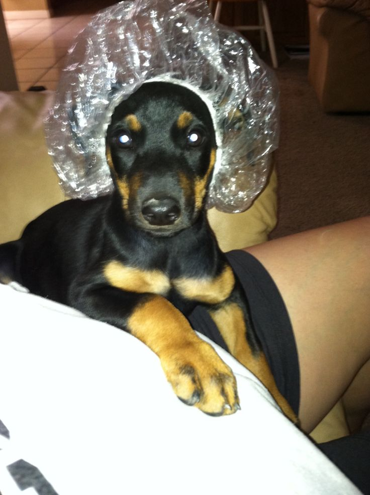 Best 25 Doberman Funny Ideas On Pinterest Funny Puppies
