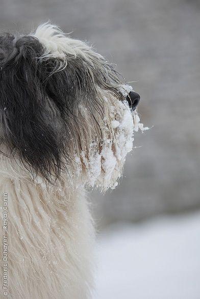 Polish Lowland Sheepdog photo | Polish Lowland Sheepdog.