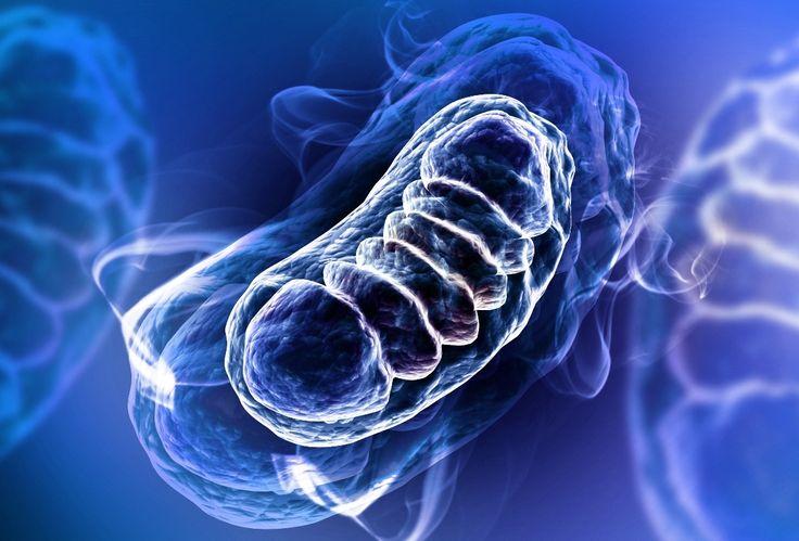 Proteine anti invecchiamento scoperte nei mitocondri. Questa scoperta potrebbe portare alla realizzazione di nuovi farmaci contro malattie neurodegenerative