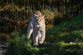 Lynx Roux, La Faune, Lynx, Prédateur