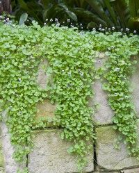 Native violet (viola hederacea). Reliable, compact, spreading native groundcover.