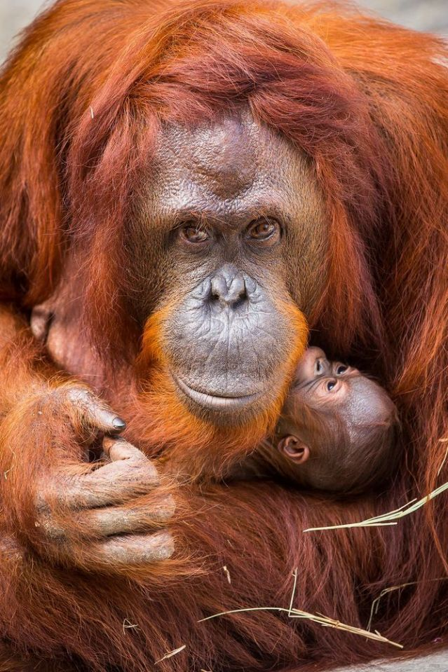 This is Bornean orangutan Dee Dee's fourth child, making her a super ape mom
