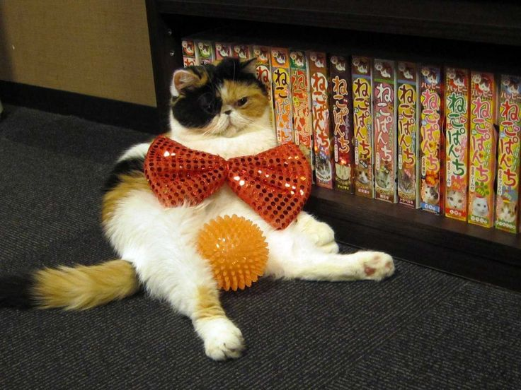 kittens in costumes | Here, they can put cats in costumes and read manga (comic books)