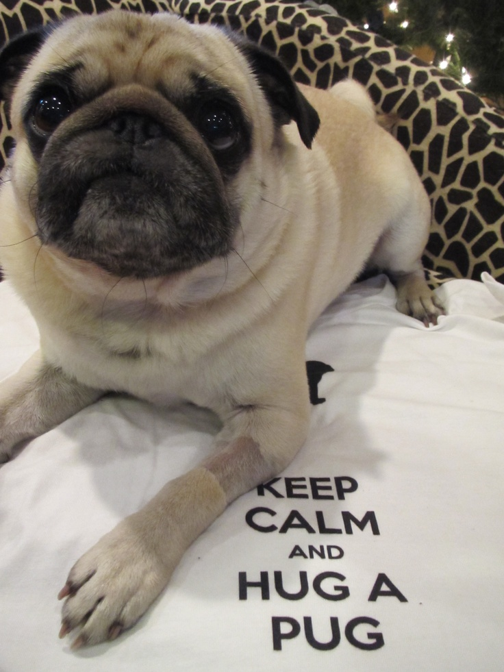 17 best images about i love pugs amp pigs on pinterest pug