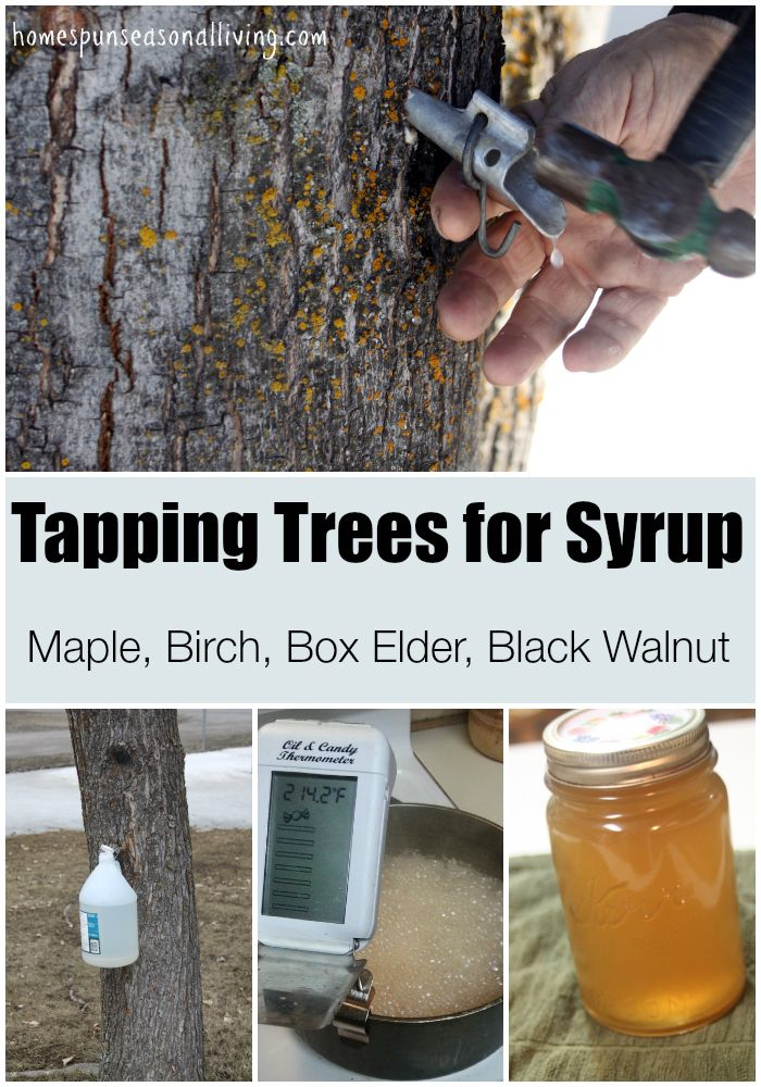 Tapping Trees For Syrup On Your Homestead
