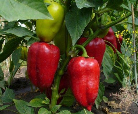 Обжаренный болгарский перец.  Ингредиенты: болгарский перец (лучше брать небольшой, чтобы было удобно укладывать в банки) растительное масло (для обжаривания в нем перца) чеснок Специи на литровую б…