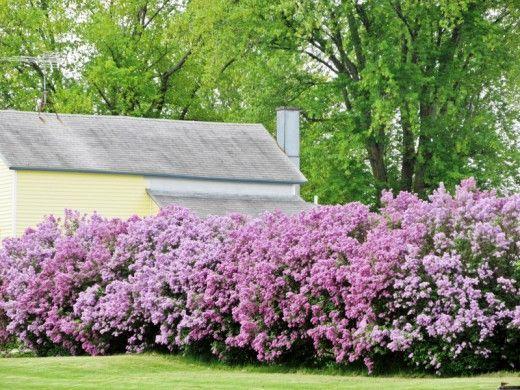 Лучшие растения для пейзажных изгородей.  Пейзажные, или естественные живые изгороди — самые массивные и объемные, требующие немалой площади, но несравненные по своей живописности виды зеленых оград. Свободно растущие изгороди бывают однорядными, двухрядными и еще более сложными, моновидовыми или комбинированными, выгодно отличаются от регулярных простотой ухода и возможностью насладиться роскошным цветением. Фото: © Bubbly