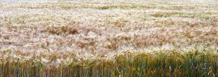 Wheatfield in Baragan