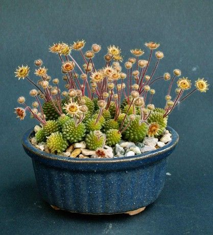 Monanthes polyphylla in full bloom: Bonsai Succulents Cacti Plants, Succulents Gardens, Succulents, Outdoor Living Garden, Container Gardening, Cacti Succulents, Indoor Plants