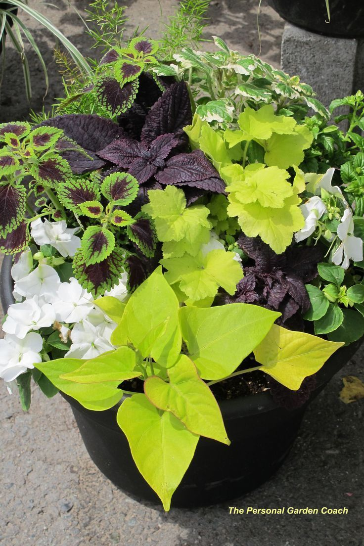 Together coleus, sweet potato vine and impatiens make a spectacular impact, with a contemporary vibe, when placed in a black container. #containergardeningfullsun