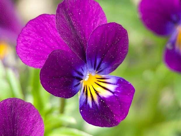Violka, Violka vonná, Kvetoucí violky rohaté (Viola x cornuta), které jsou nyní všude k dostání, jsou velmi odolné. Jsou dvouleté až víceleté a jejich květy jsou sice menší než u macešek, zato je jich podstatně víc.