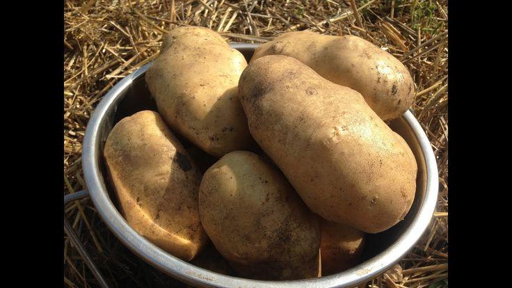 Как вырастить ведро картофеля с куста /Выращивание картофеля под соломой...