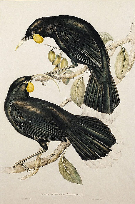 Huia - This uniquely beaked bird, once endemic to the North Island of New Zealand, became extinct in the early 20th century after museum demand for mounted specimens reached a peak. Due in part to the bird's popularity as a mascot and national symbol within New Zealand.