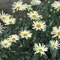 Leucanthemum 'Silberprinzessche'  Een vaste plant voor een zonnige plaats. Groeit in elke goede tuingrond. Een goede snijbloem. De plant is niet wintergroen.    De dubbelbloemige bloemen zijn wit van kleur, de bloeitijd is juni-juli. Hoogte: 40 cm.