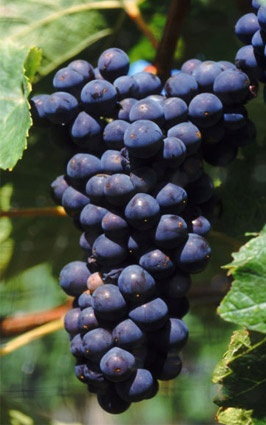 Merlot - Fransa'da en çok yetiştirilen şaraplık üzümlerdendir. Bordeaux Bölgesi'nde Cabernet Sauvignon'dan daha çok yetiştirilmektedir. Meyvemsi özellikleri yüksek, tatlı, ince kabuklu ve sulu bir üzümdür. Asit ve alkol oranının yüksek olması sebebiyle zarif ve dolgun sonuçlar verir. Tüm bu özellikleriyle Cabernet Sauvignon'u dengelediği için Cabernet Sauvignon kupajlarında en çok tercih edilen üzümdür.