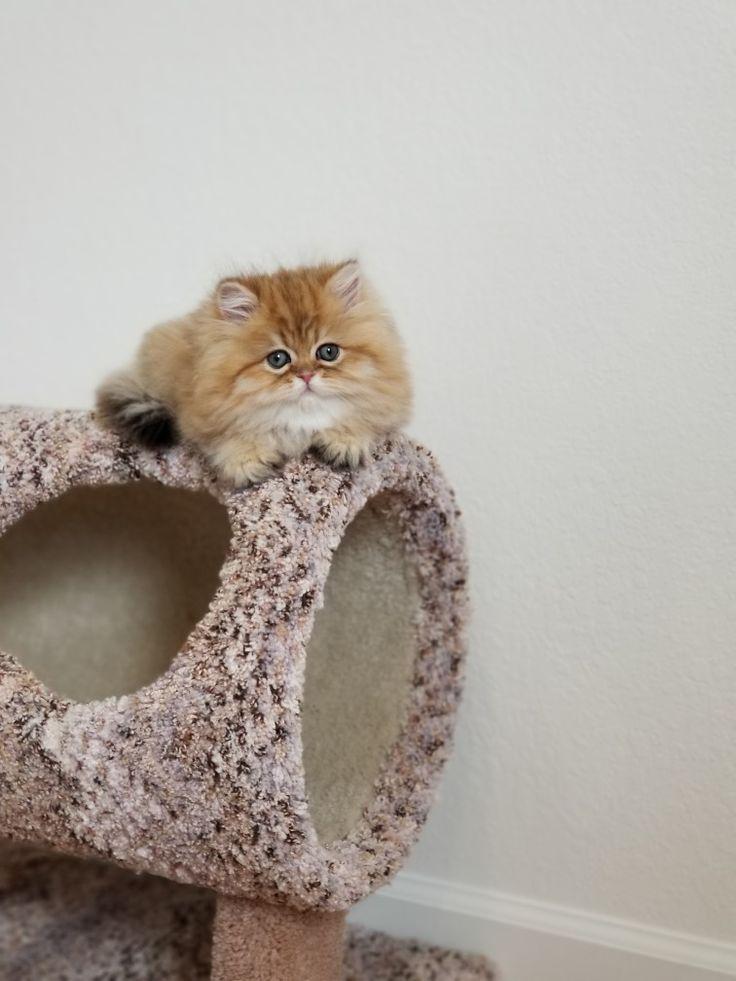 Chinchilla Golden Persian Kitten Persian Kittens Persian Kittens For Sale Teacup Persian Kittens