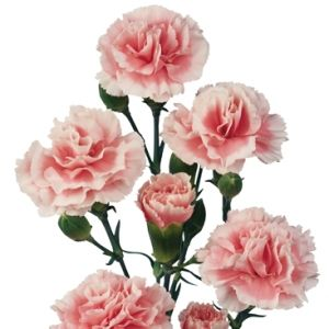 FiftyFlowers.com - Pink Mini Carnation Flowers -   25 bunches or 250 stems for $189.99