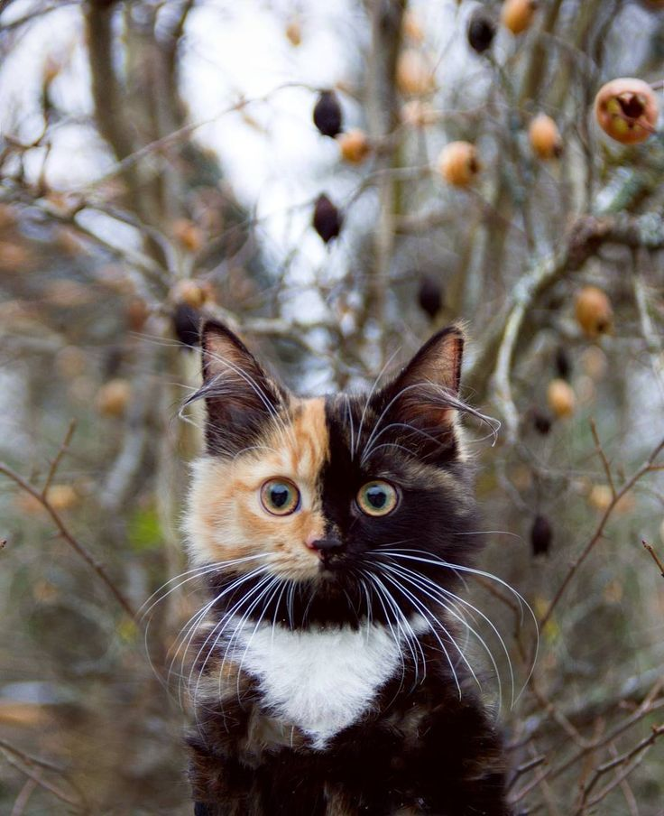 A Gorgeous Tortoiseshell Calico Cat Whose Adorable Face is Half Orange and Half Black