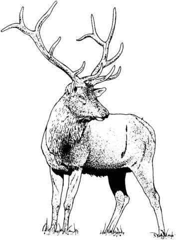 gorgeous elk deer coloring page   desenhos